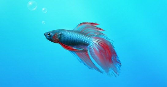 windows-7-betta-fish